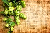 Постер, плакат: Hop branches with leaves and cones over burlap background Hop close up Inflorescence of hops Beer