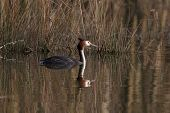 foto of great crested grebe  - a great crested grebe swimming - JPG