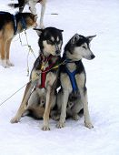 picture of chukotka  - escimo dogs huskies sled dogs winter snow - JPG