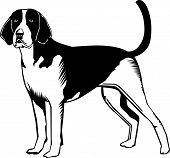 image of foxhound  - A vector illustration of an american foxhound dog - JPG
