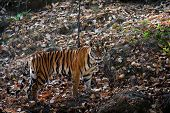 stock photo of tigress  - The tigress costs on stones and rapaciously looks in a lens - JPG