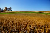 foto of mennonite  - this is an example of a field planted with a crop of soybeans ready to harvest - JPG
