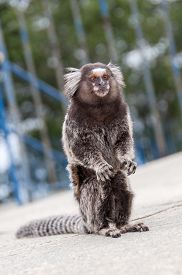 stock photo of marmosets  - White Eared Marmoset  - JPG