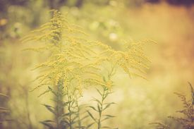 stock photo of goldenrod  - Vintage photo of beautiful yellow goldenrod flowers blooming - JPG