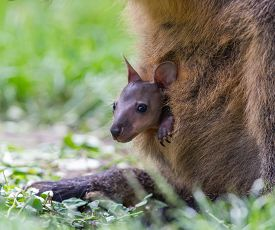 picture of wallabies  - Wallaby with a young joey in mothers pouch - JPG