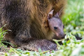 image of wallabies  - Wallaby with a young joey in mothers pouch - JPG