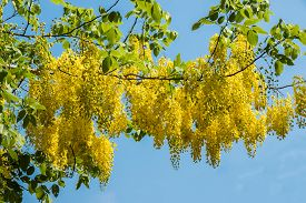 foto of cassia  - Purging cassia is a national tree - JPG