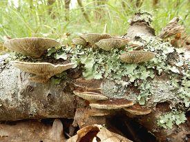 stock photo of bracket-fungus  - Birch Mazegill Fungus aka Lenzites betulinus - JPG