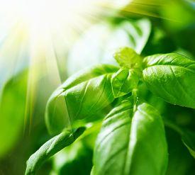 stock photo of basil leaves  - Basil leaves in sunlight - JPG