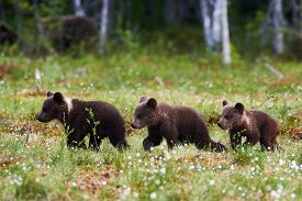 image of bear-cub  - Three small and sweet bear cubs walking one behind the other - JPG