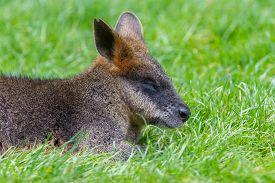picture of wallabies  - Kangaroo - JPG