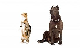 stock photo of scottish-fold  - Staffordshire Terrier and curious cat Scottish fold isolated on white background - JPG