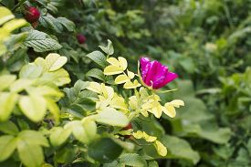 stock photo of wild-brier  - fruits and flowers of wild rose on a bush at the same time - JPG