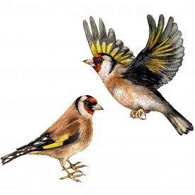 picture of goldfinches  - Watercolor image of flying and walking goldfinches isolated on white background - JPG