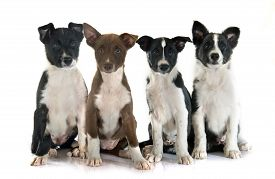 pic of collier  - puppies border collier in front of white background - JPG