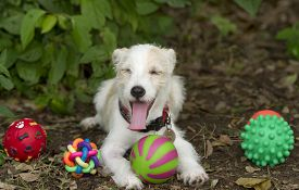 stock photo of toy dogs  - Funny dog with toys is a cute white puppy dog with his mouth open wide and eyes closed and his tongue stretched to the limit while he sits with his toys - JPG