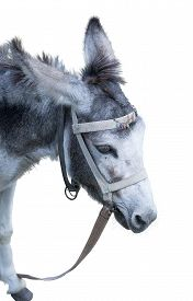 stock photo of headstrong  - the Donkey isolated on the white background - JPG