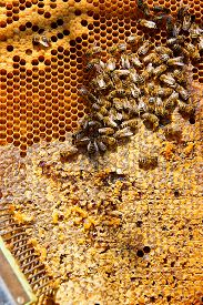 image of honeycomb  - Close up view of the working bees on the honeycomb with sweet honey - JPG