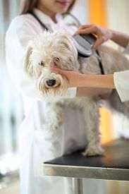 stock photo of maltese  - Veterinarian checking microchip implant on Maltese dog in vet clinic - JPG