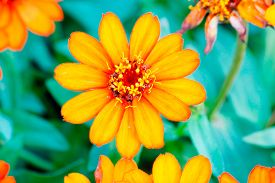 pic of zinnias  - Beautiful white Narrow leaf Zinnia or Classic Zinnia flowers - JPG