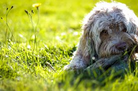 stock photo of cockapoo  - Sweet blonde puppy chewing stick in green summer grass - JPG