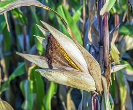 stock photo of corn cob close-up  - close up of indian corn at the field  - JPG