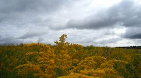 image of goldenrod  - Flowering plant of Canadian goldenrod and grey sky background - JPG
