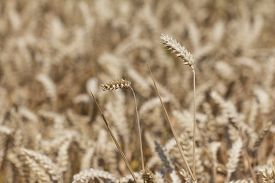 picture of carbohydrate  - Macro photography of the grain - JPG