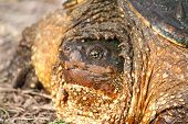 picture of winnebago  - Closeup of a Snapping Turtle  - JPG