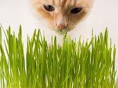 Cat Is Eating Fresh Green Grass. Cat Grass, Pet Grass. Natural Hairball Treatment, White, Red Pet Ca poster