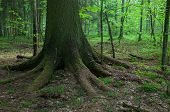 stock photo of hughes  - Old spruce tree in foreground with and deciduous stand in background  - JPG