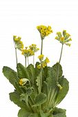 stock photo of cowslip  - Yellow flowering Primula veris on white background - JPG