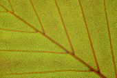 pic of beechnut  - close up and macro beech leaf with vessel - JPG