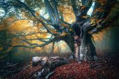 Fairy Tree In Fog. Old Magical Tree With Big Branches And Orange poster