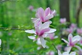 stock photo of saucer magnolia  - Beautiful magnolia flowers with natural green background - JPG