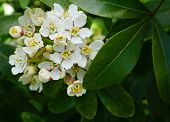 Choisya Shrub With Delicate Small White Flowers On Green Foliage Background. Mexican Mock Orange Eve poster