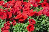 Red Flower. Flower In Garden At Sunny Summer Or Spring Day. Flower For Postcard Beauty Decoration An poster