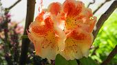 Showy And Bright Rhododendron Flowers Close Up. Evergreen Shrub. poster