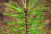 Closeup Photo Of Green Needle Pine Tree On The Right Side Of Picture. Small Pine Cones At The End Of poster