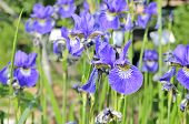 picture of ayam  - Many beautiful purple iris flowers growing on a flower bed - JPG