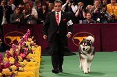 NEW YORK - FEBRUARY 14: The Alaskan Malamute  performs at the Westminster Kennel Club Dog Show on Fe