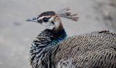 stock photo of peahen  - Indian Peahen in Keoladeo National Park - JPG