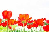 Blooming Tulips In Spring poster