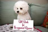 Dog Shaming. A Small Dog with a sign stating why she is in trouble. Sign is editable for your own te poster