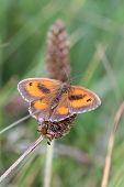 pic of gatekeeper  - Gatekeeper Butterfly  - JPG