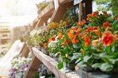 Potted Pansies For Sale Sitting Outdoors In Garden Nursery. Gardening Concept poster