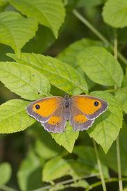 stock photo of gatekeeper  - Gatekeeper Butterfly  - JPG