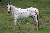 pic of appaloosa  - Full body image of a mtaure appaloosa gelding facing left but curiously watching the photographer also - JPG