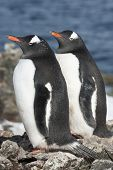 Gentoo Penguin Couple On A Bright Sunny Day.