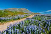 Постер, плакат: Луга полны цветущих Нутка Люпен Люпин нутканский в горах недалеко от Husavik Исландия